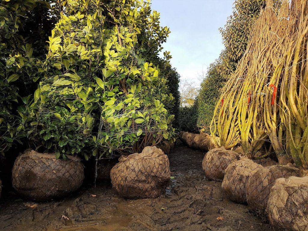 root ball mature plants garden