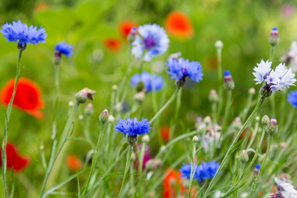 field of red and blue wild flowers
